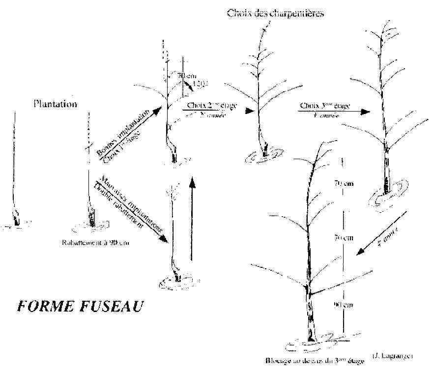 Cercle horticole fosses 3 - Comment tailler un pommier ...